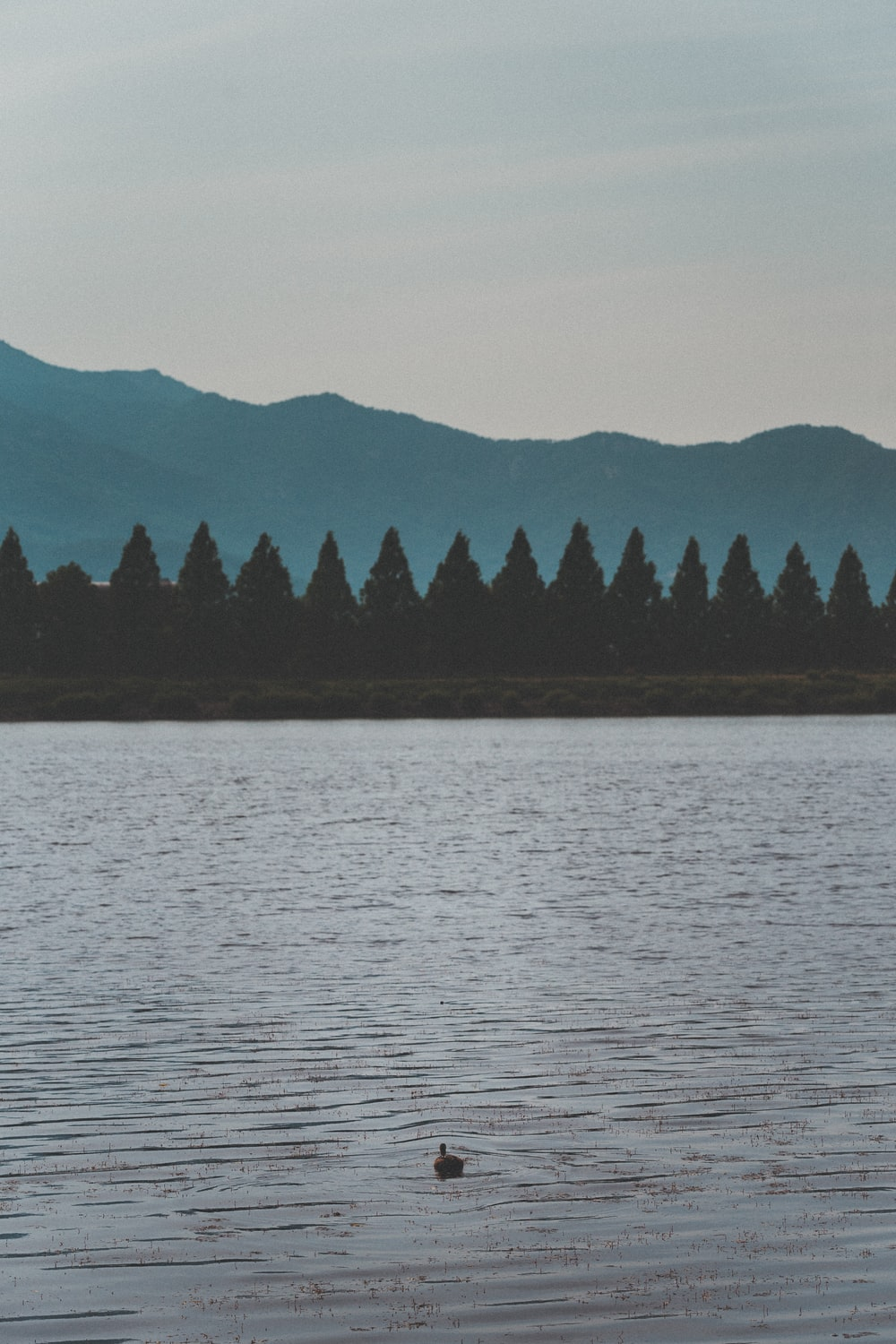 pine trees near body of water during clear blue sky
