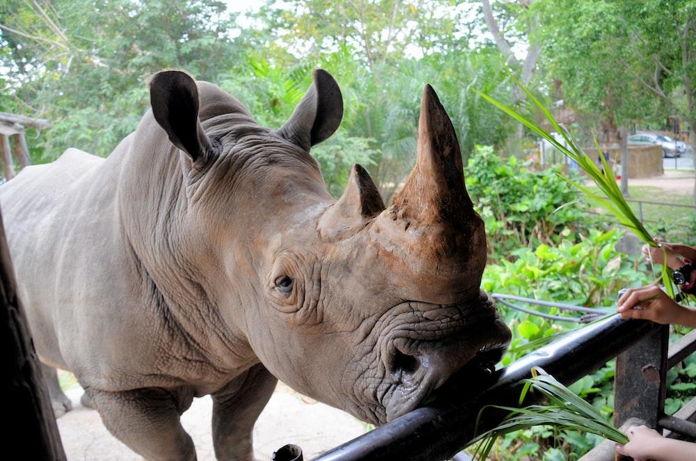 brown rhinocerus