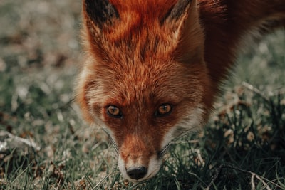 close-up photo of red fox standing on green grass
