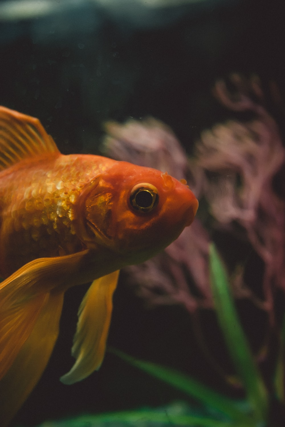 Gold fish in selective focus photo