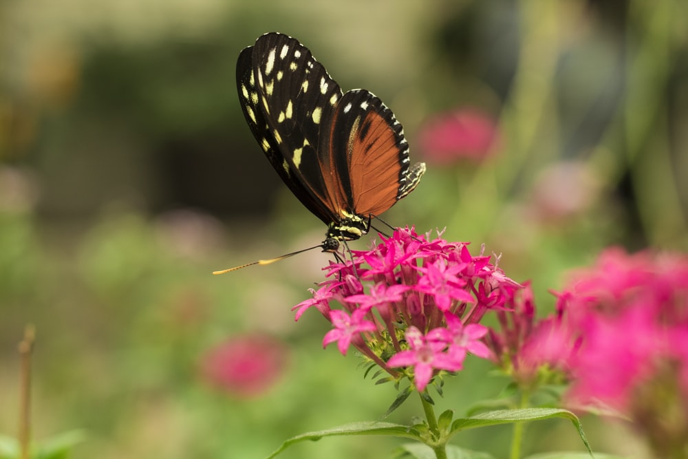 orange and black butterfly on pink ixora flower