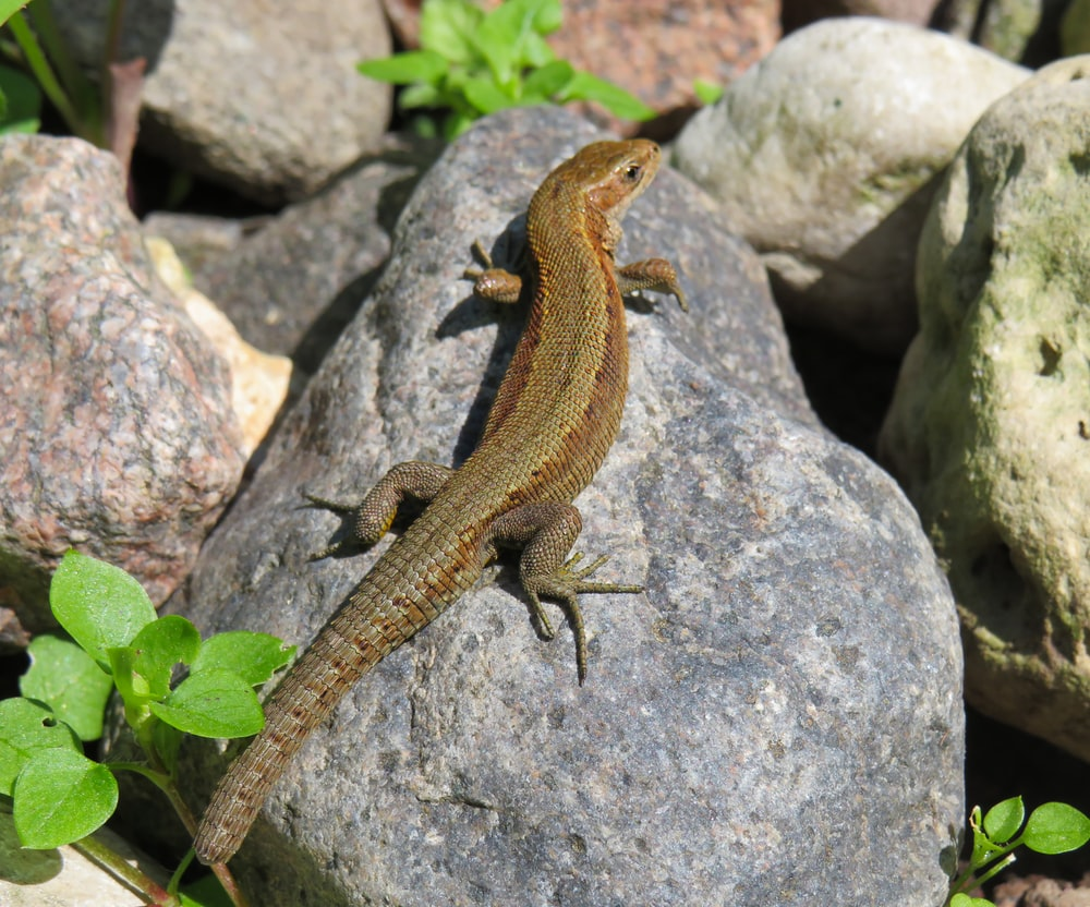 brown and gray lizard on gray stone