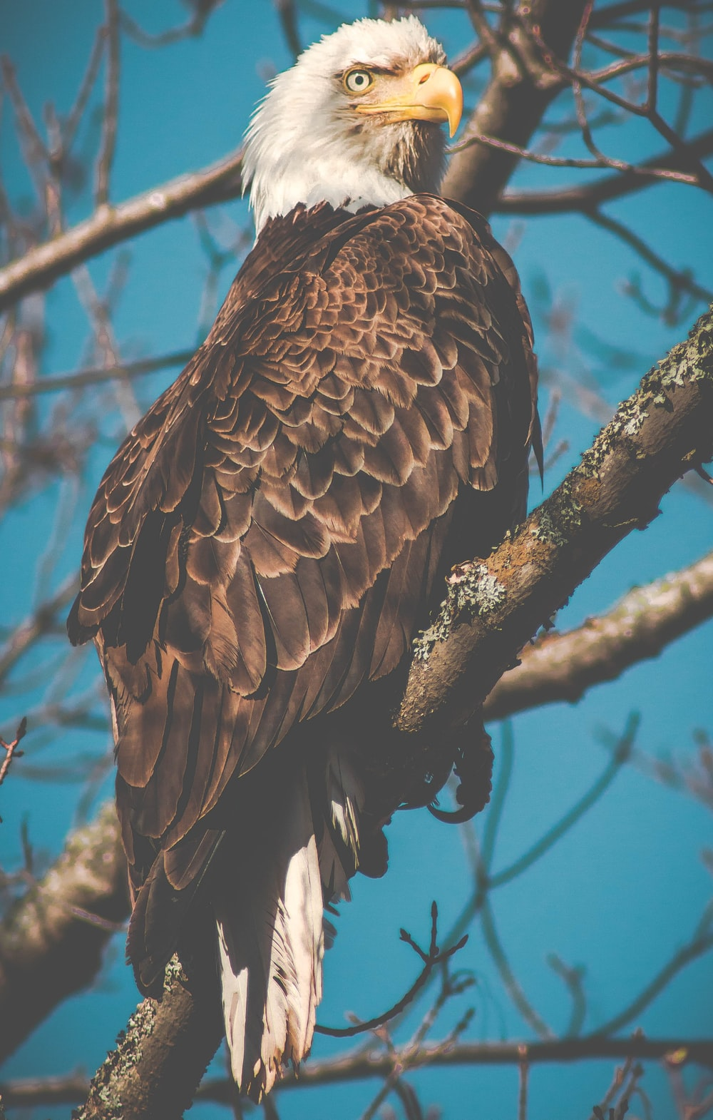 American eagle on branch photo – Free Bird Image on Unsplash