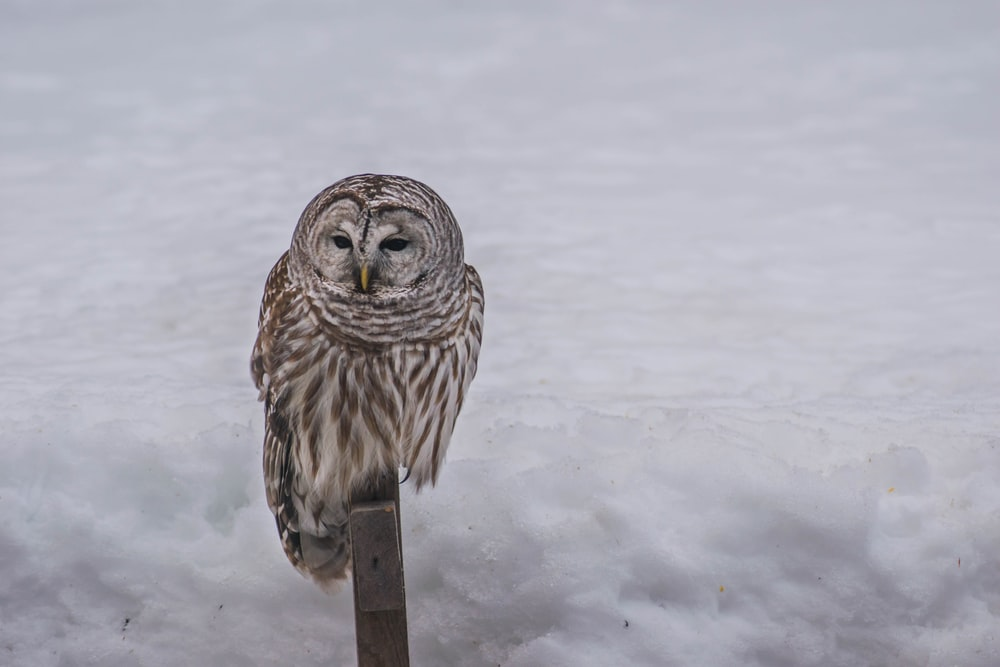 brown owl perching on brown wooden surface