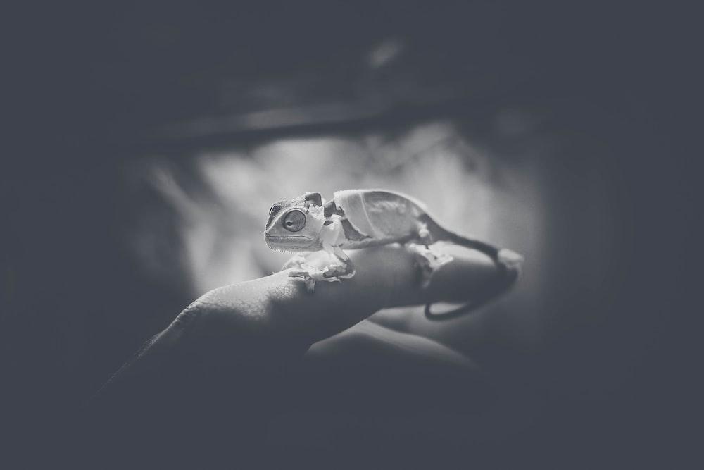 chameleon on person's finger