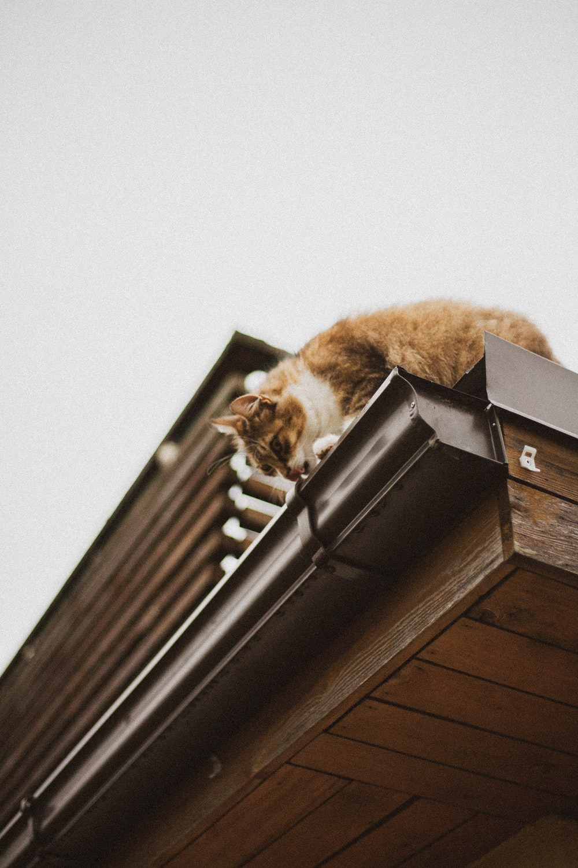 orange tabby cat on roof