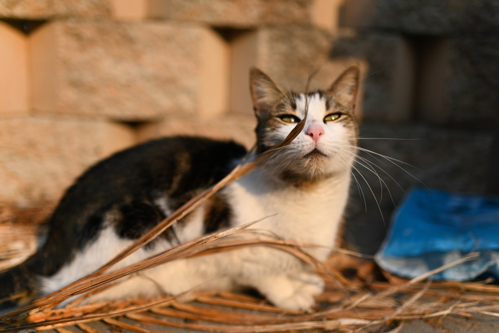 white and black calico cat lying on dried palm leaf on floor