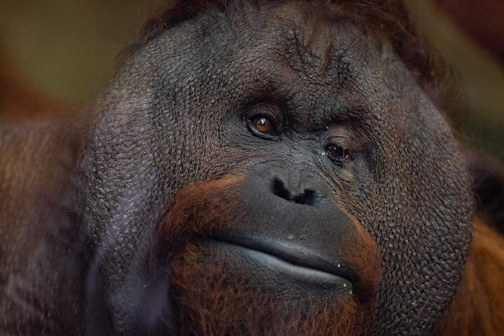 selective focus photography of black gorilla
