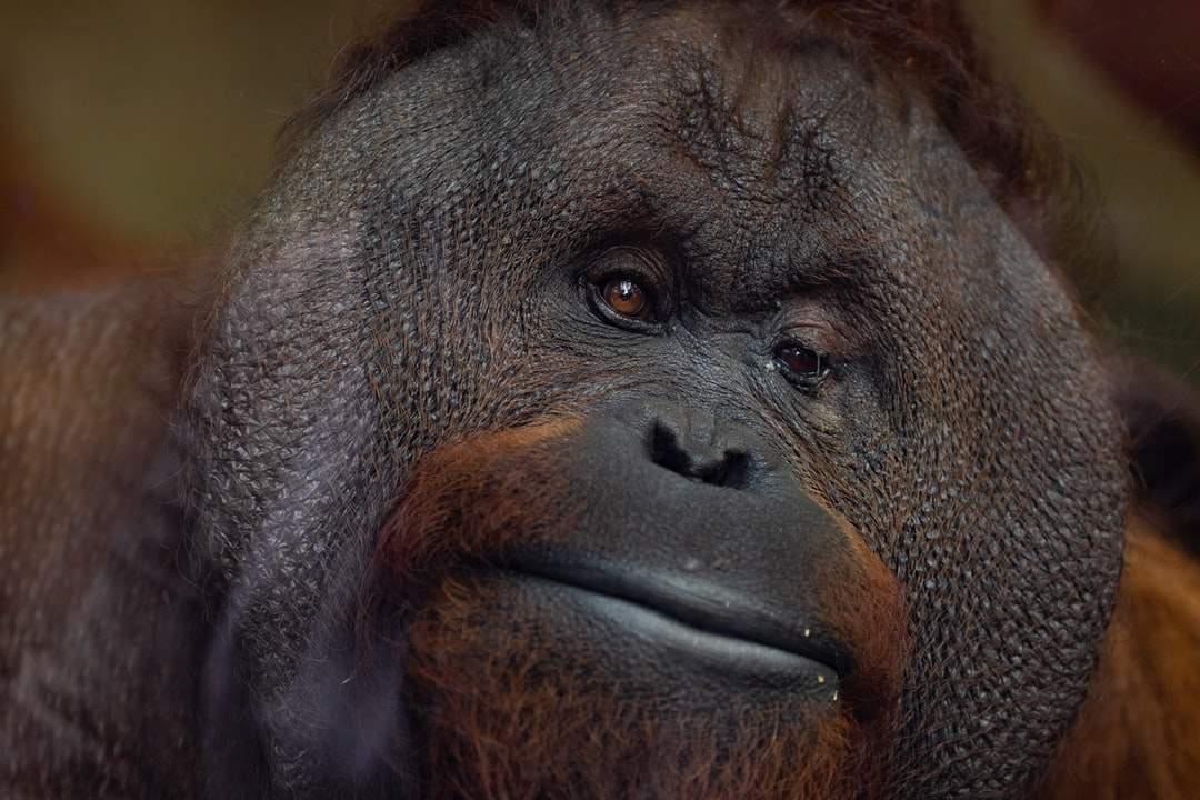 I took this photo of Gordon the Bornean orang-utan (Pongo pygmaeus) who was born on 09/12/97 at Monkey World. He was born prematurely and had to spend the first month of his life in an incubator, however, he is now a dominant male with fully developed cheek pads.   Gordon sat at the glass for a long time and likewise, I stood waiting patiently to capture his character as he sat staring into the lens.