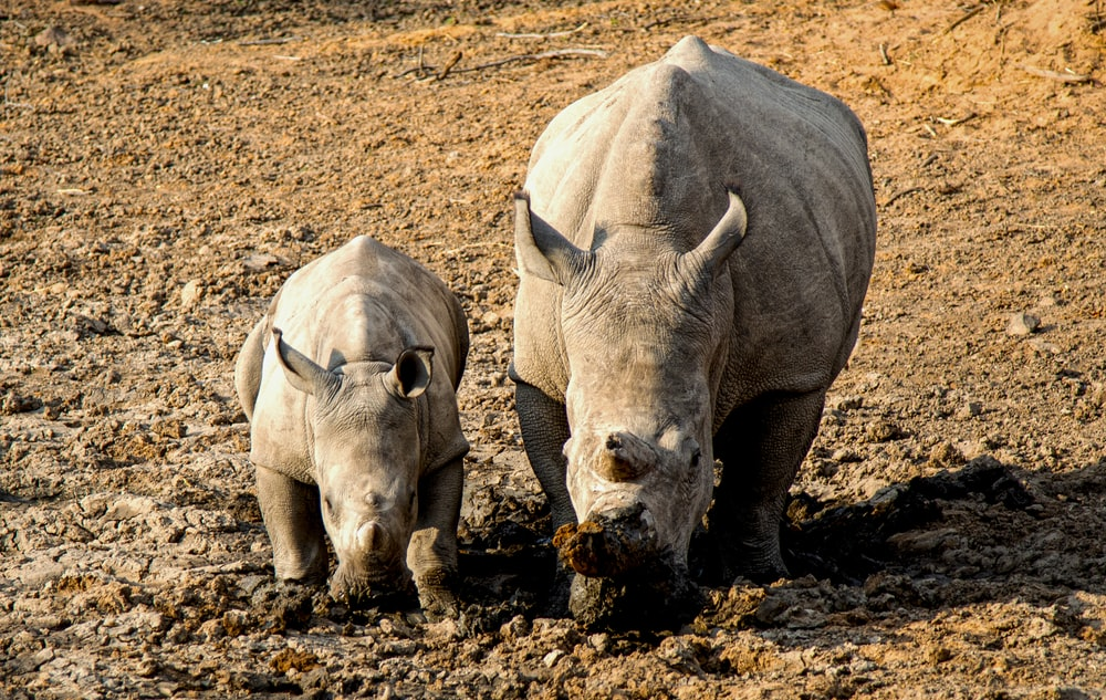 two standing brown rhinos