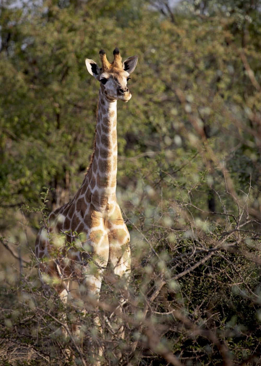 giraffe photo across trees