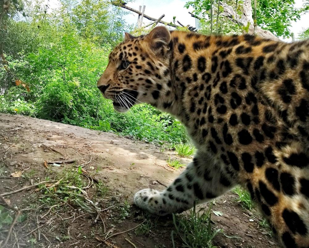 brown leopard photo across green plants