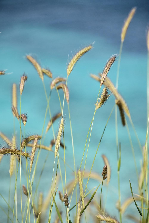 brown grass flowers