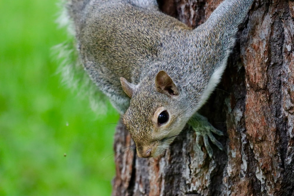 grey and white squirrel