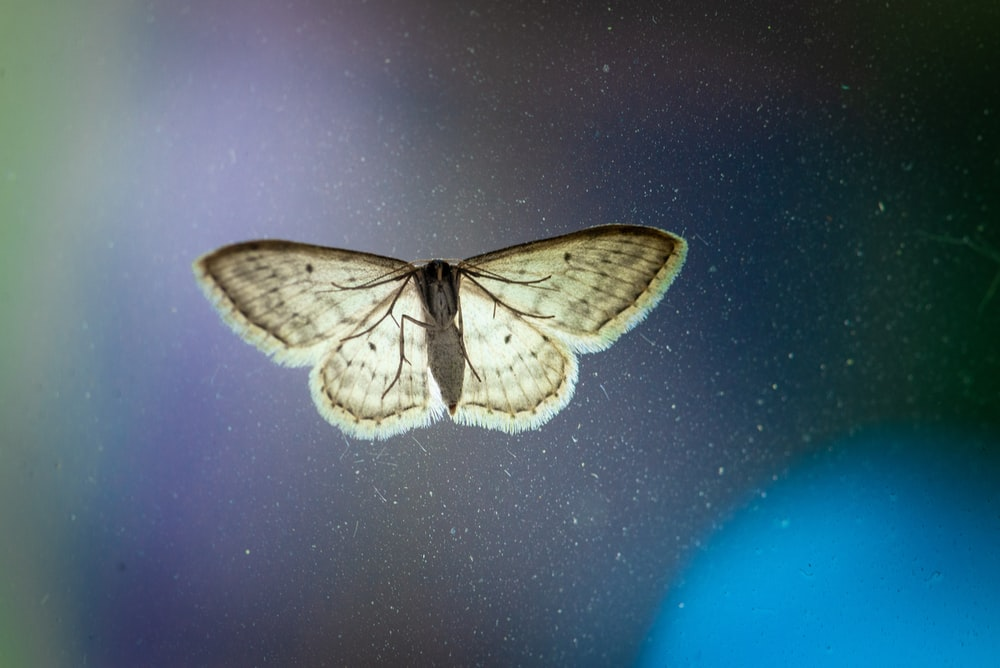 beige and gray moth
