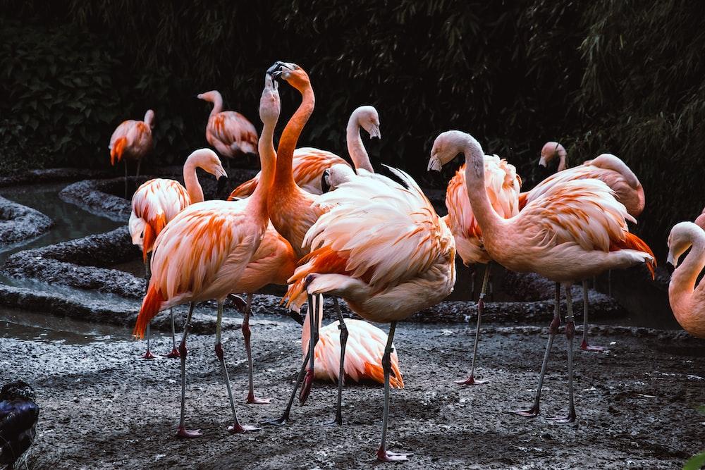 a group of flamingos