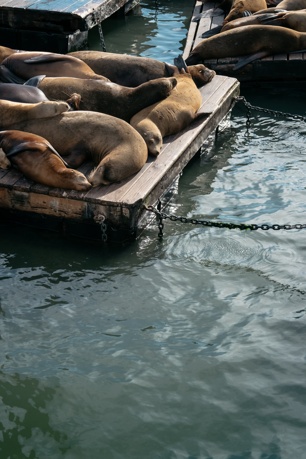 group of seal
