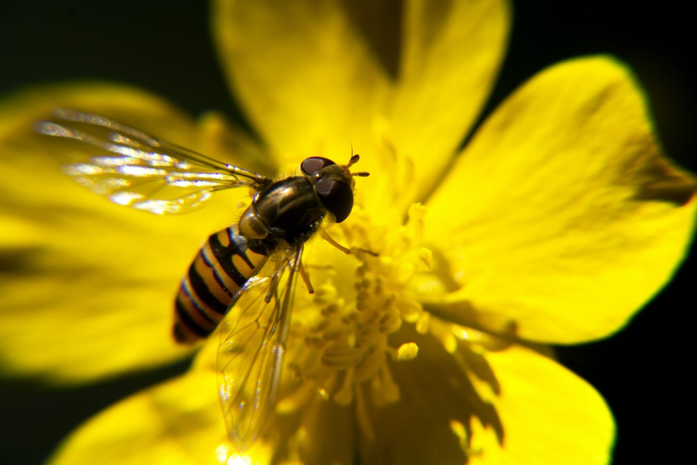 hoverfly perching on yellow-petaled flower in close-up photography