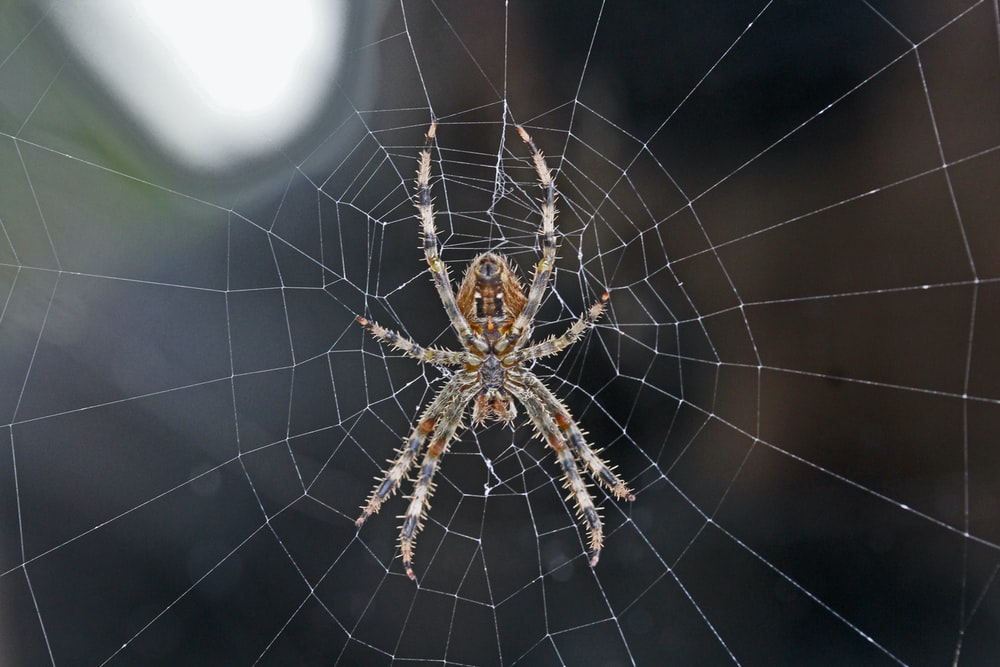 brown and gray spider