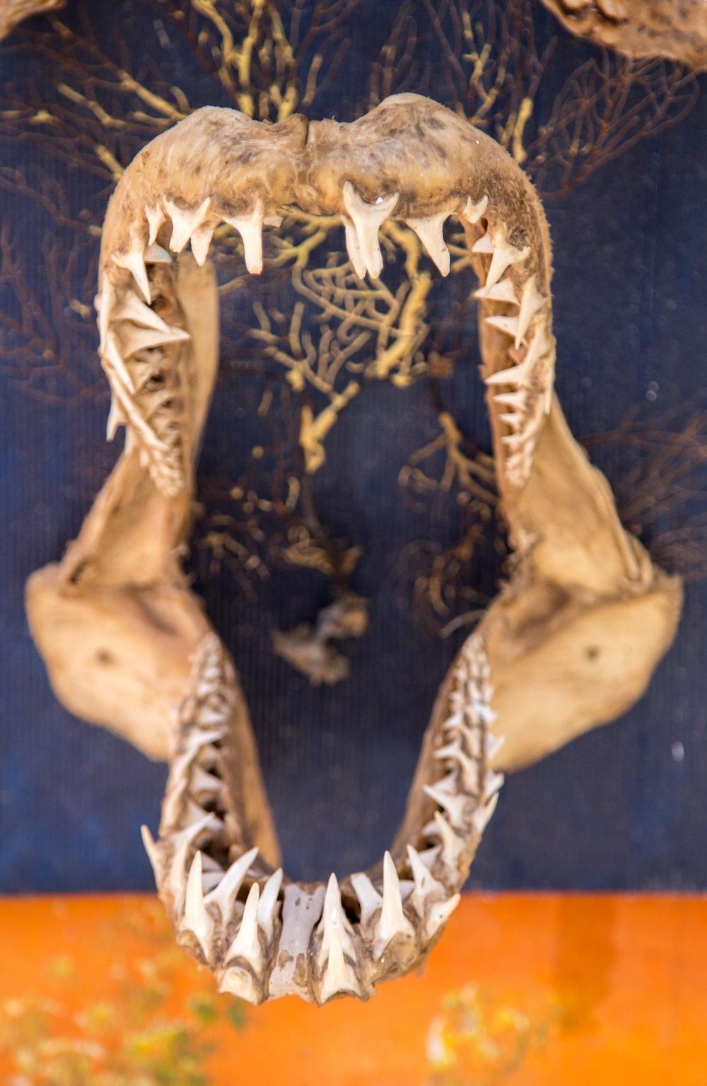 jaw bone skeleton of a shark