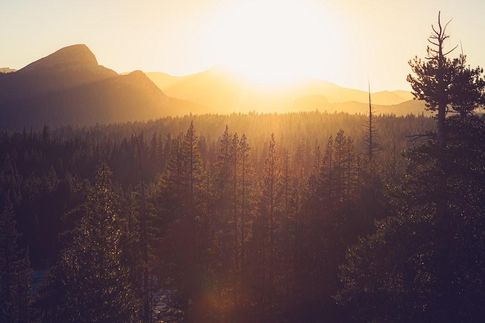 pine tree sunset scenery