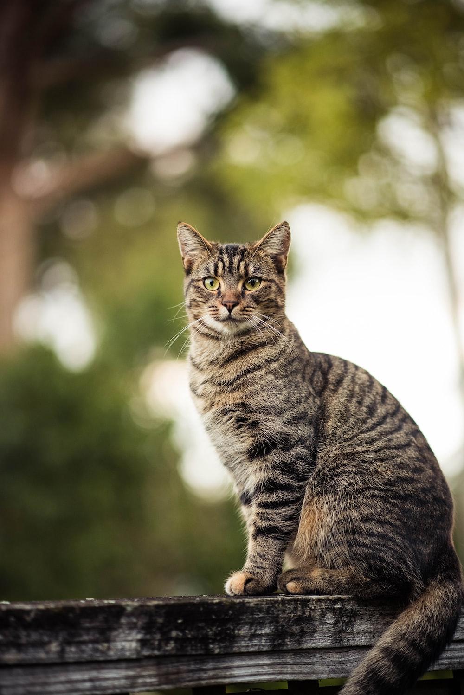القط العانس البني على شعاع خشبي