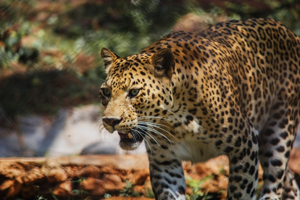 brown leopard during daytime
