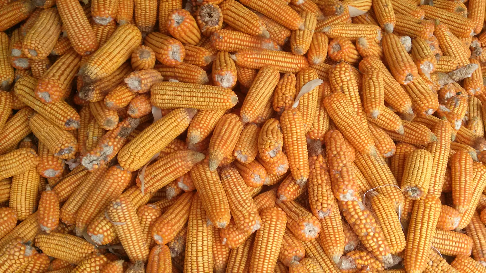 Israeli innovation aims to save costs for $53B U.S. corn industry