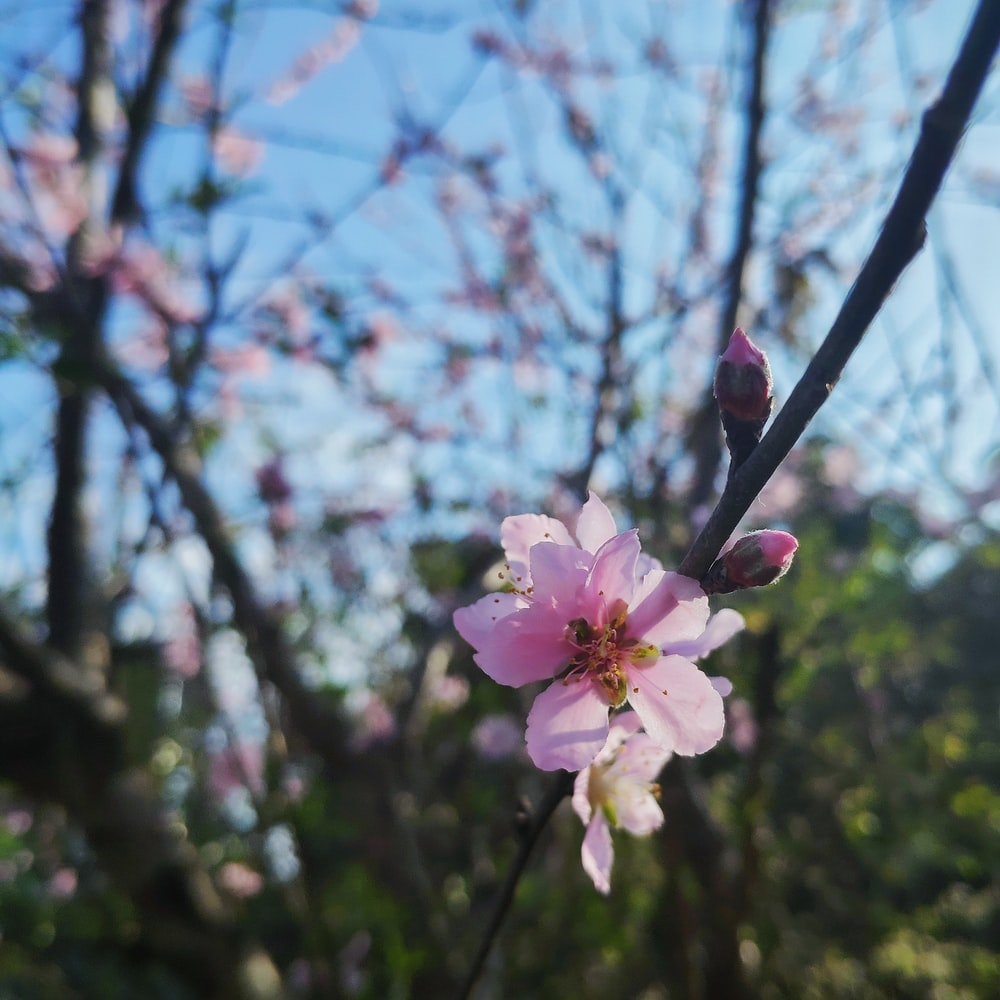 pink cherry blossoms at daytime