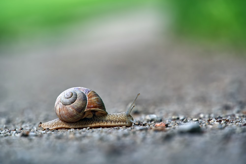 gray and brown snail