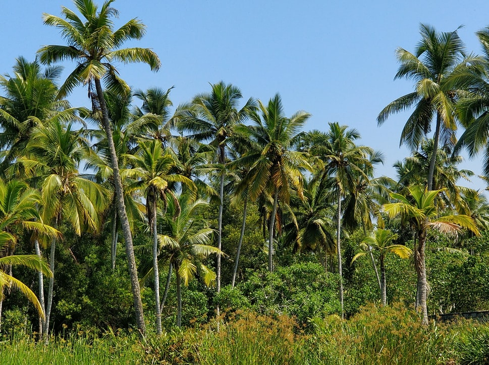 Coconut trees found at attractions in Poovar