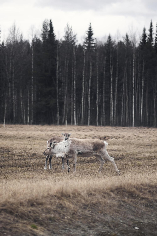 white deer on grass field