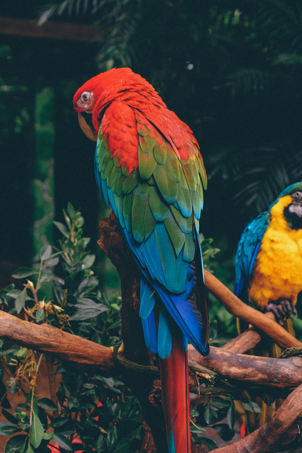 scarlet macaw on branch
