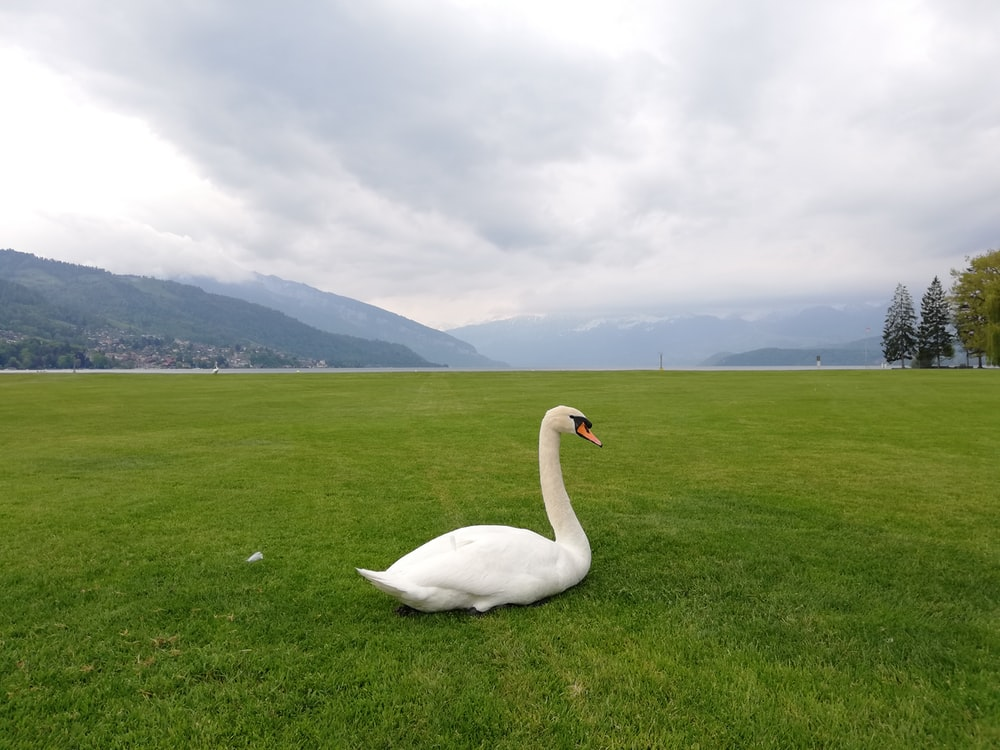 white swam on grass