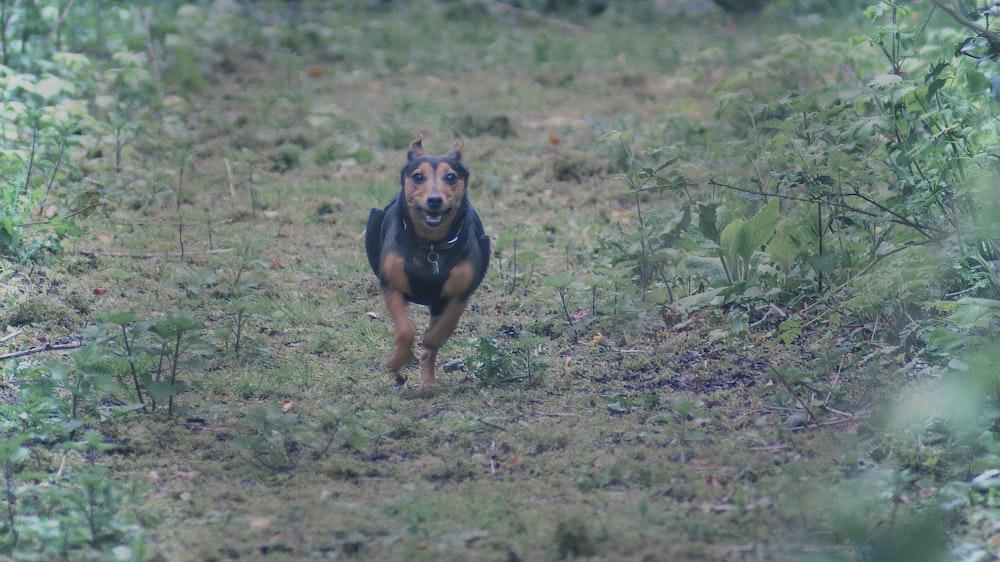 short-coated black dog running