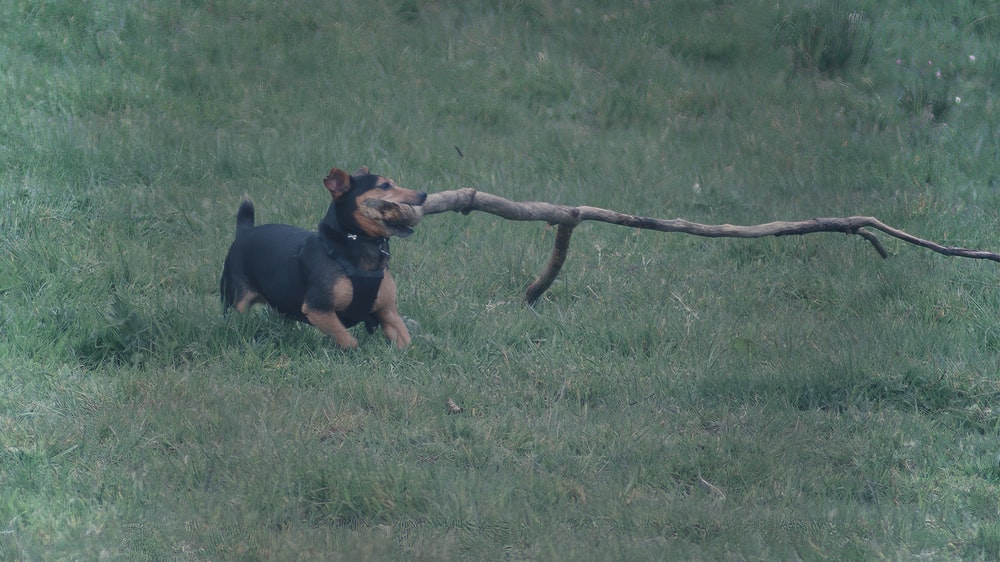 black and tan short coat small dog with brown twig in mouth