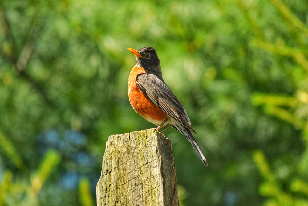 orange and black hummingbird