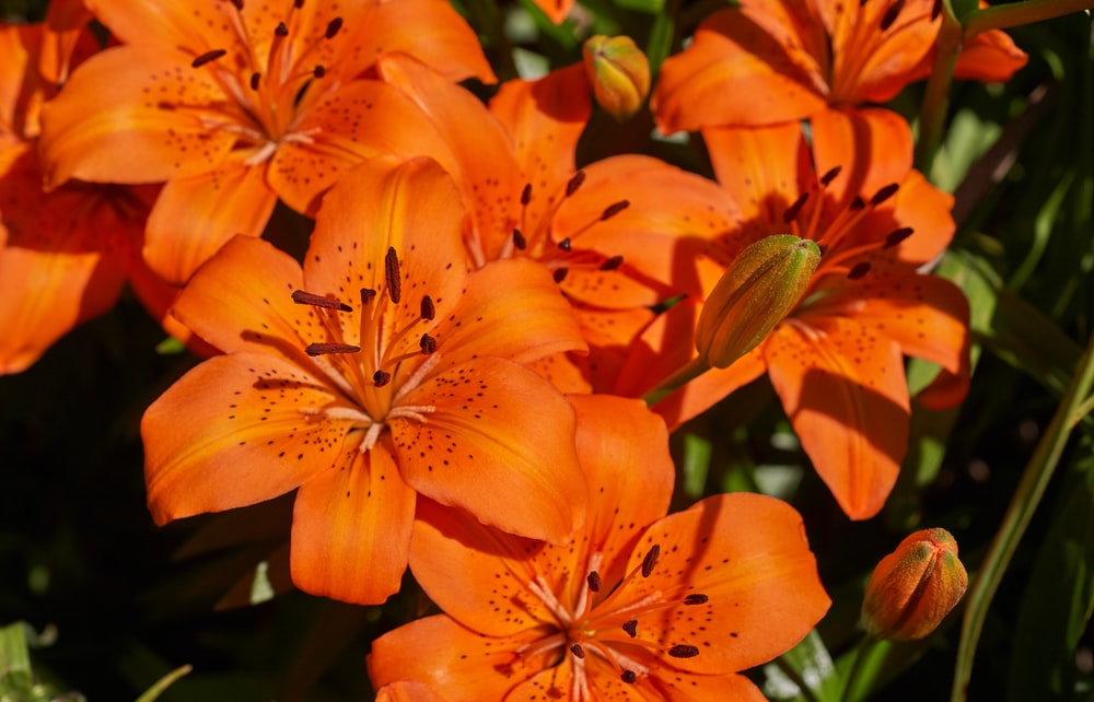 closeup photography off orange lily flower