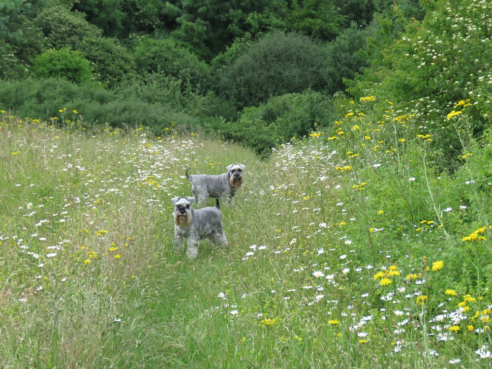 two grey dogs on field