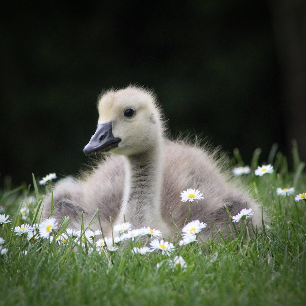 gray duckling lying on grass