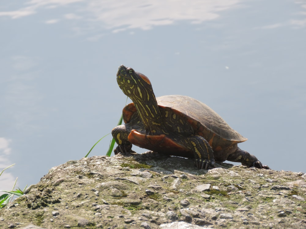 shallow focus photo of brown turtle