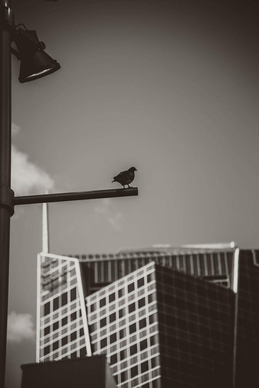 black pigeon preaching bar