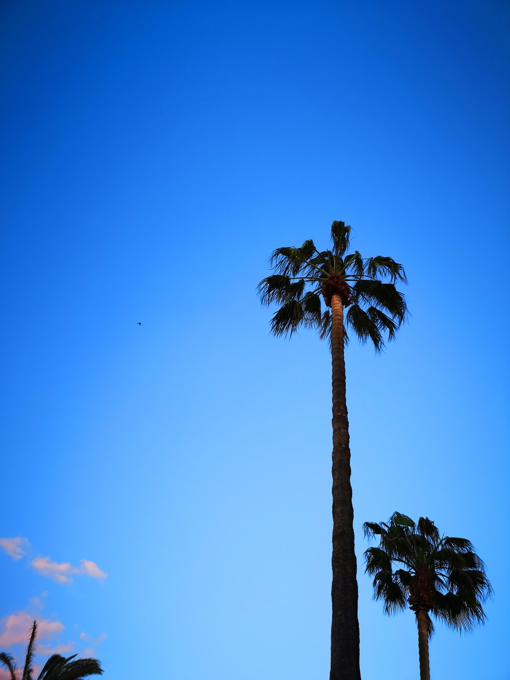 two tall palm trees under clear blue sky