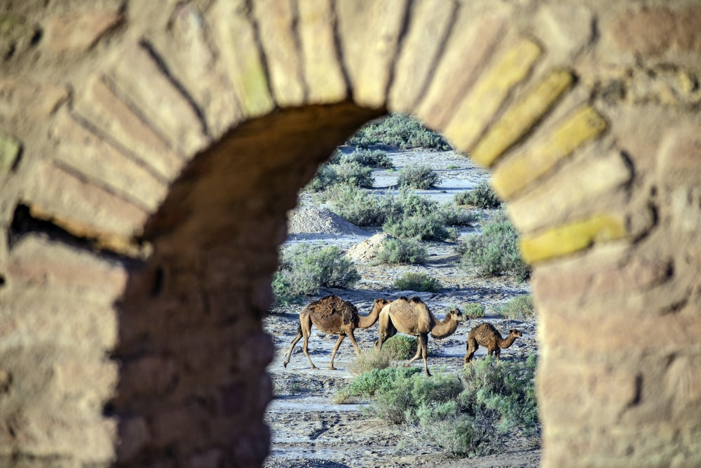 three brown camels