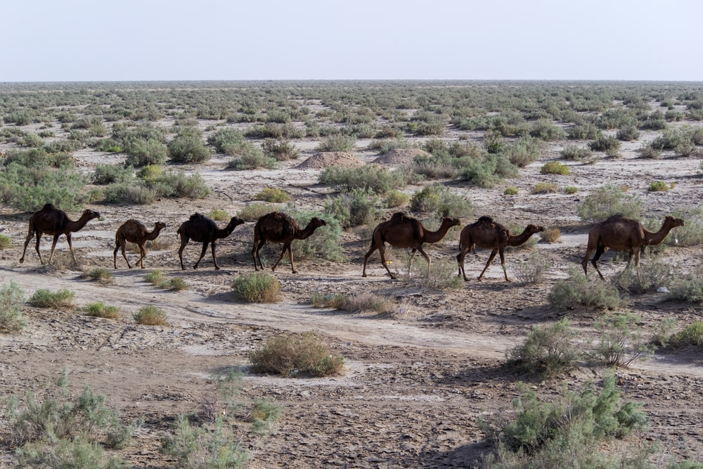 seven brown camels on focus photography