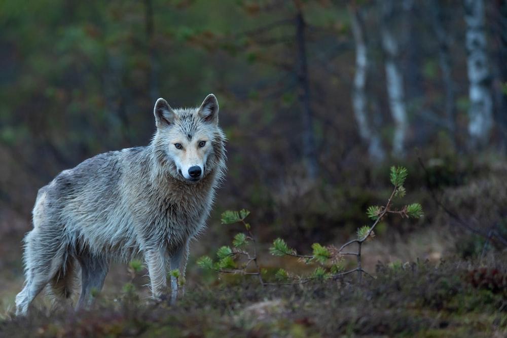 gray wolf on brown grass