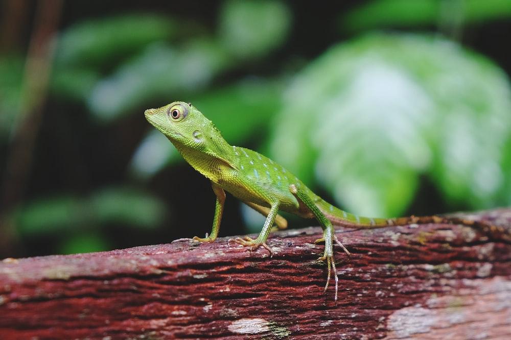 green lizard focus photography