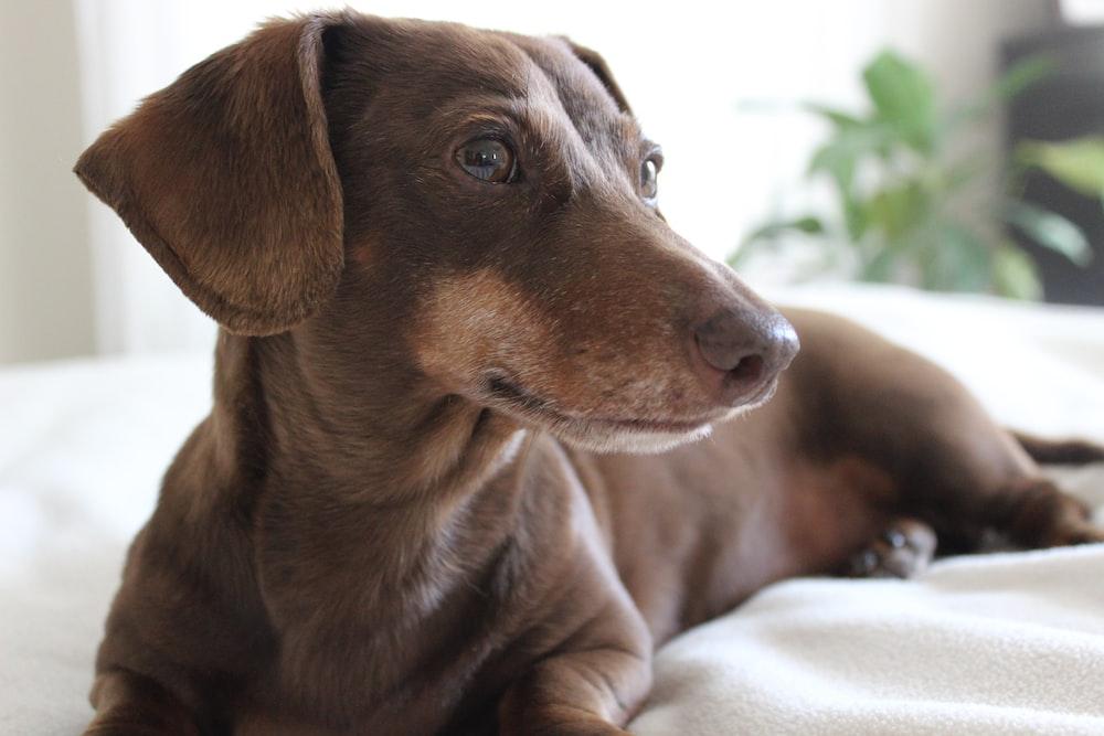 adult red dachshund