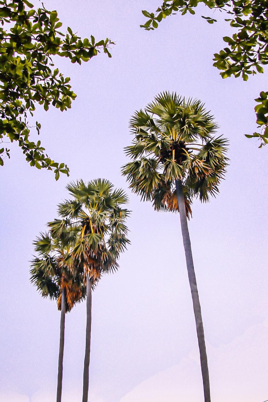 three coconut trees