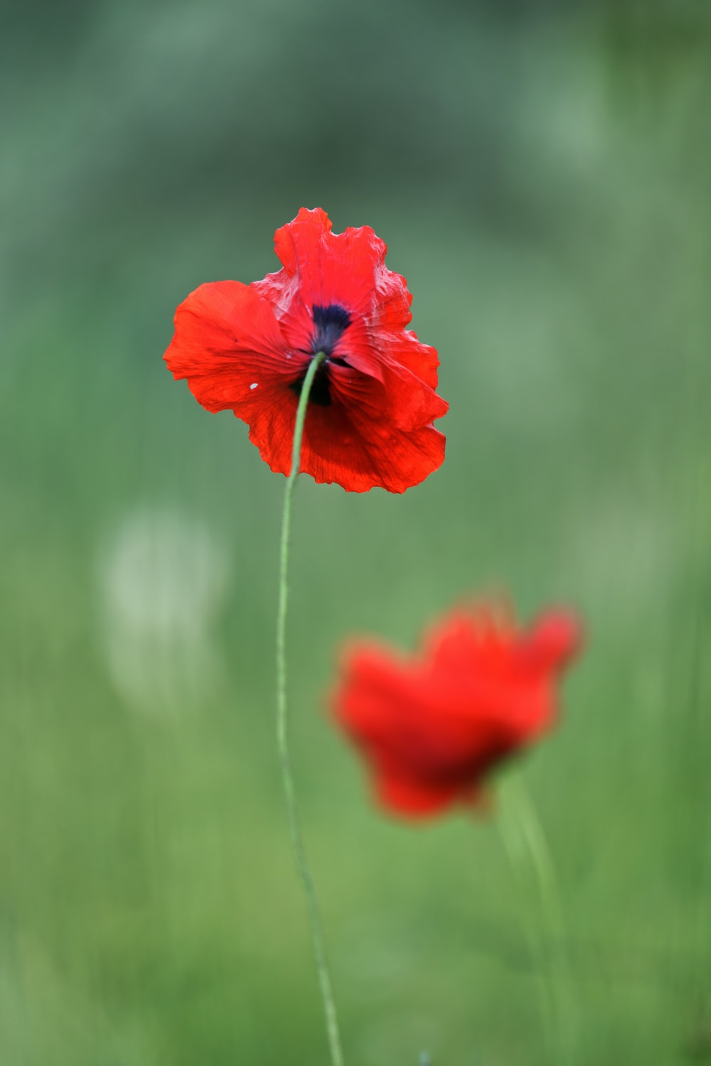 closeup photography of red poppy flower